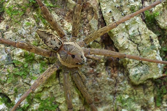 Fishing Spider, male - Dolomedes vittatus - male