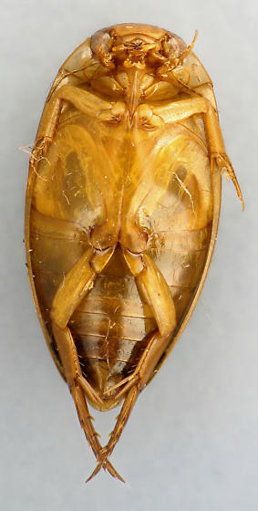 Diver #1 - Coptotomus longulus