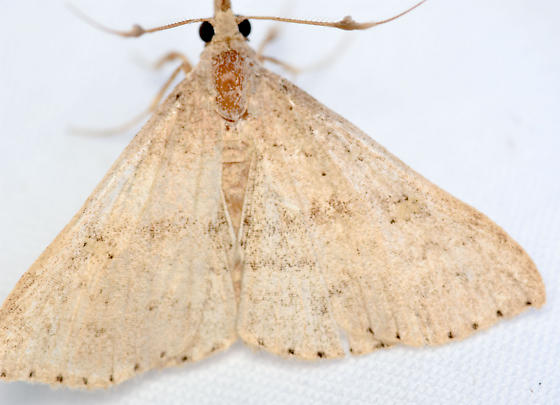 litter moth - Renia salusalis - male