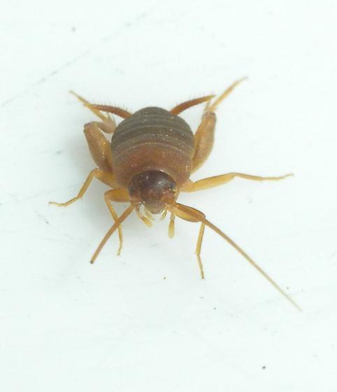 ant cricket - Myrmecophilus oregonensis