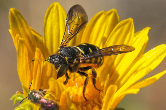 Bee 2442 - Dianthidium