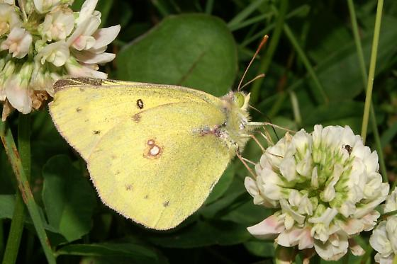 Clouded Sulphur For Illinois In May - Colias philodice