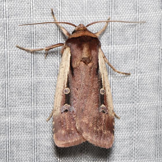 Ochropleura implecta