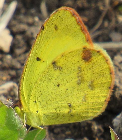 Small Yellow Butterfly - Pyrisitia lisa