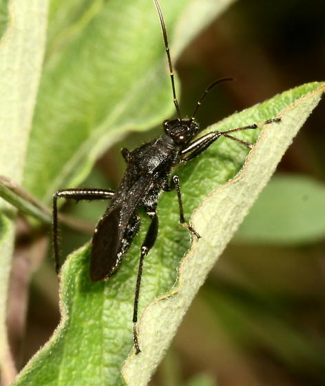 ID help please - Alydus eurinus - Alydus eurinus