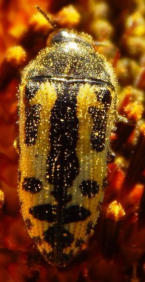 Acmaeodera? - Acmaeodera scalaris
