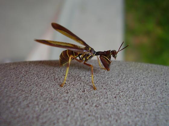 Brown Mantidfly - Climaciella brunnea
