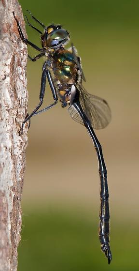 Delicate Emerald - Somatochlora franklini - male