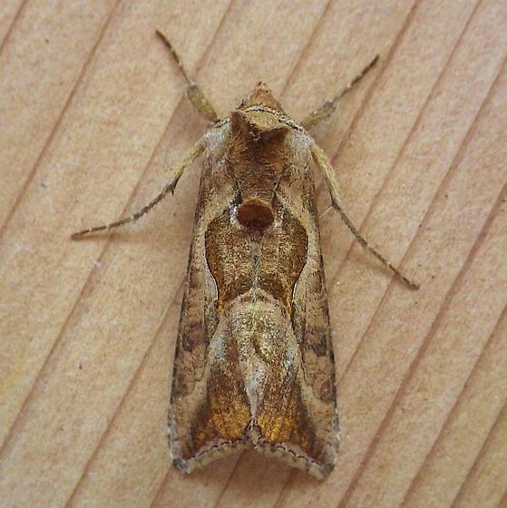 Noctuidae: Autoplusia egena? - Autoplusia egena