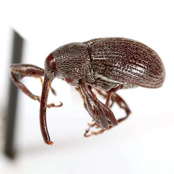 Anthonomus albopilosus Dietz - Anthonomus albopilosus