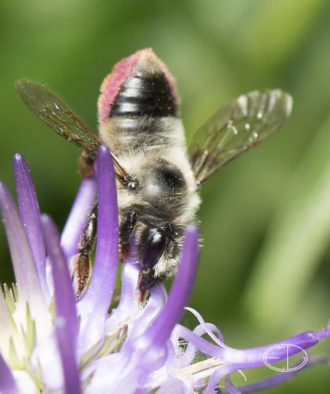 Bee, tail is black on top with red sides - Megachile - female