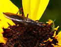 West Coast Hemiptera 2 - Odontoloxozus longicornis