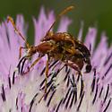 beetle - Strangalia virilis - male - female