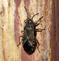 Plant bugs? - Arocatus melanocephalus