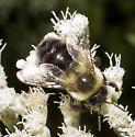Boneset bumble bee - Bombus impatiens