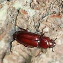 LH Beetle - Neandra brunnea