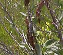 Oiketicus abbotii - female