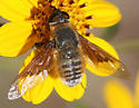 unknown bee fly - Paravilla