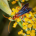 Small Spider Wasp? - Ageniella coronata - male