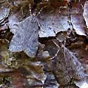 bog moths - Scoparia penumbralis