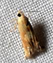 possible Eucosma mormonensis  - Eucosma mormonensis