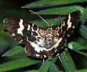 Small Butterfly-like moth - Trichodezia californiata