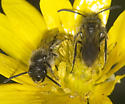 Torpid males in buttercup flower on cool afternoon - Panurginus - male