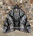 widow underwing on wall - Catocala vidua
