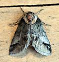 Moth at porch light - Baileya