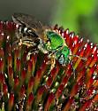 Agapostemon virescens - female