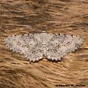 Stenoporpia dionaria 6458 - Stenoporpia dionaria - female