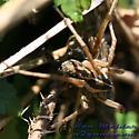 Spider 02 - Tigrosa
