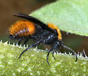 Male velvet ant - Dasymutilla bioculata - male