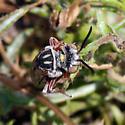 Cuckoo bee? - Triepeolus