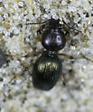 Tiny little beach beetles - Akephorus obesus