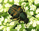 Beetle - Trichiotinus