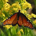 Queen (Danaus gilippus) - Danaus gilippus - male