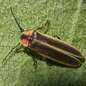 Firefly 09.05.31 - Photinus