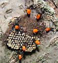 Bug Nymphs - Arilus cristatus