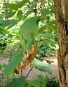 Moth larva, wrapped Virginia Creeper leaves
