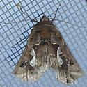 Moth with big white reniform (?) spot  - Megalographa biloba