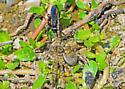 ID sought for wasp (spider optional) - Anoplius americanus - female