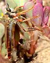 robber fly - Ospriocerus longulus - female