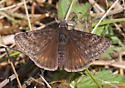 Rocky Mountain Duskywing? - Erynnis persius - male