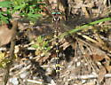 Brown spiketail - Cordulegaster bilineata