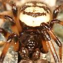 Cobweb spider (Eastern Variation) - Steatoda albomaculata - male