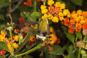 Large bee-like insect attracted to Lantana,  - Hemaris