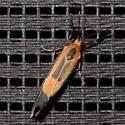 Small moth... - Cisthene packardii