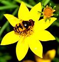 Flower fly (Hover fly) Eristalis arbustorum? - Eristalis transversa