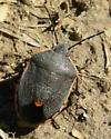 Conchuela Bug - Chlorochroa ligata